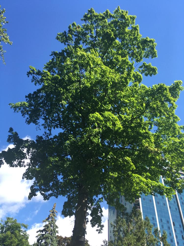 トロントのカエデの木
